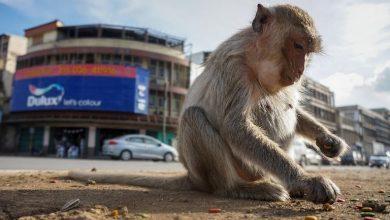 """Photo of القرود بانتظار استفتاء """"تاريخي"""" في سويسرا"""