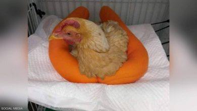 """Photo of عملية جراحية لإنقاذ """"دجاجة"""" بتكلفة باهظة."""