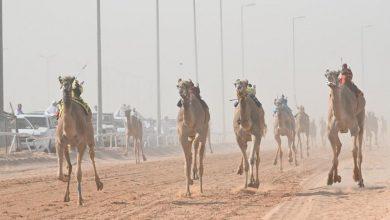 """Photo of القعود """"معتز"""" يتصدر اليوم الثاني لسباقات الهجن بحائل بأسرع توقيت."""